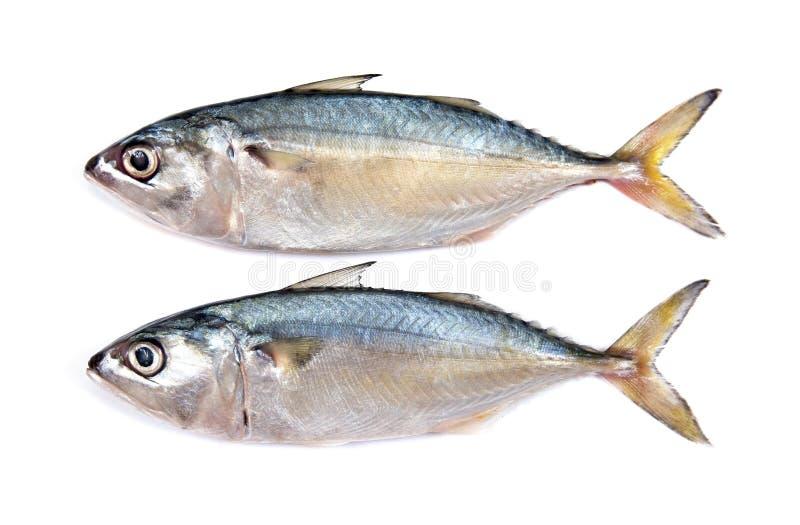 在白色背景隔绝的新鲜的鲭鱼 被隔绝的新鲜的鲭鱼鱼 鲭鱼鱼隔绝了 被隔绝的鲭鱼 库存照片