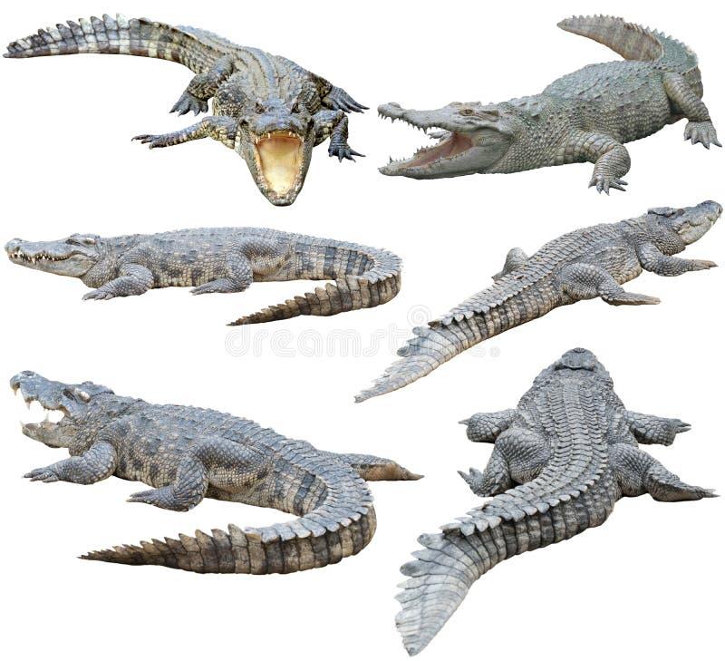在白色背景隔绝的暹罗鳄鱼 库存图片