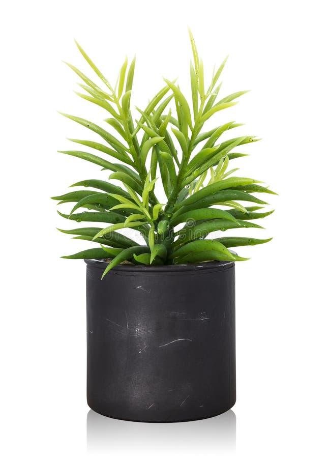 在白色背景隔绝的树罐 装饰的室内植物 r 免版税库存照片