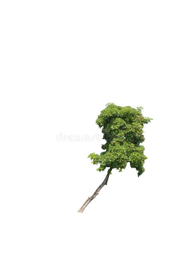 在白色背景隔绝的树,与裁减路线 免版税库存图片