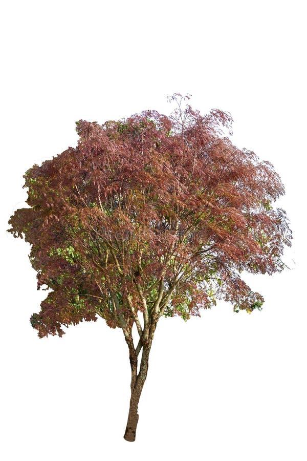 在白色背景隔绝的树,与裁减路线 库存照片