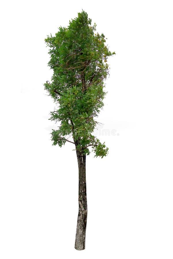 在白色背景隔绝的树,裁减路线 免版税库存图片