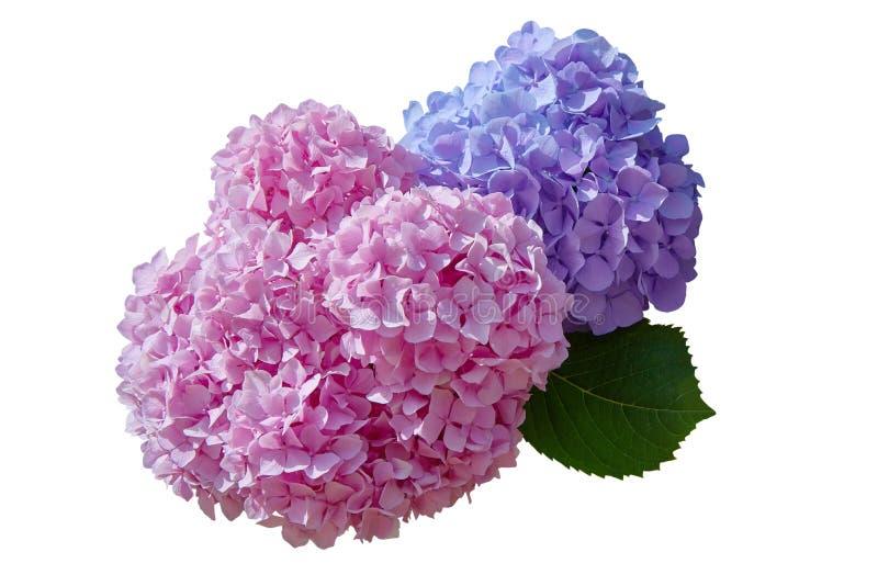 在白色背景隔绝的桃红色和紫罗兰色八仙花属花八仙花属macrophylla 免版税库存图片