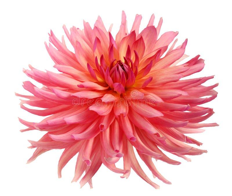 在白色背景隔绝的桃红色大丽花花 图库摄影