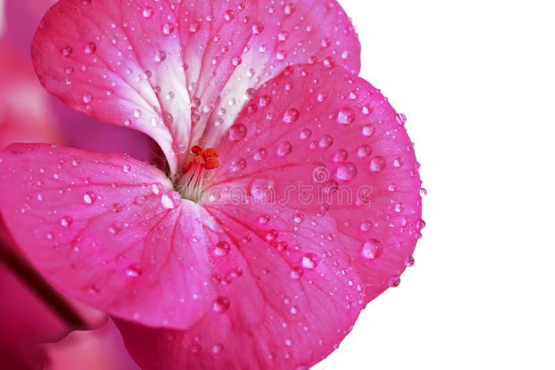 在白色背景隔绝的桃红色大竺葵花 露水或水滴在室内植物特写镜头的瓣 图库摄影