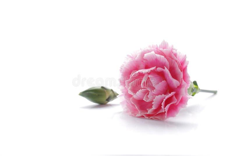 在白色背景隔绝的桃红色康乃馨花 库存照片