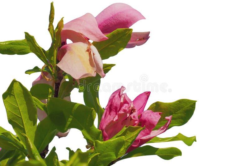 在白色背景隔绝的桃红色木兰花 免版税图库摄影