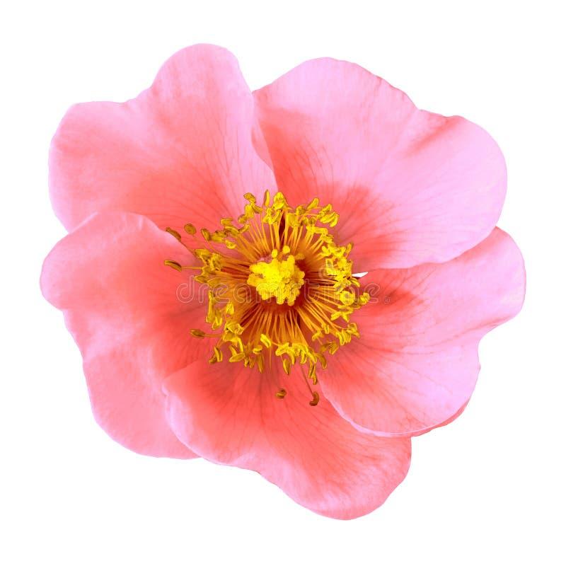 在白色背景隔绝的桃红色黄色花 特写镜头 宏指令 图库摄影