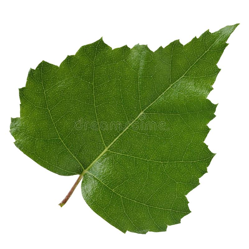 在白色背景隔绝的桦树叶子 免版税图库摄影