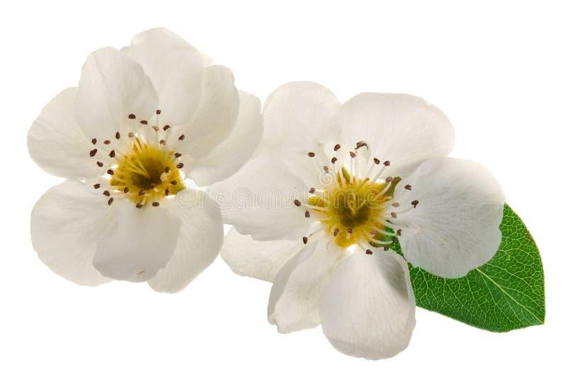 在白色背景隔绝的梨花 顶视图 平的位置 集合或汇集 免版税图库摄影