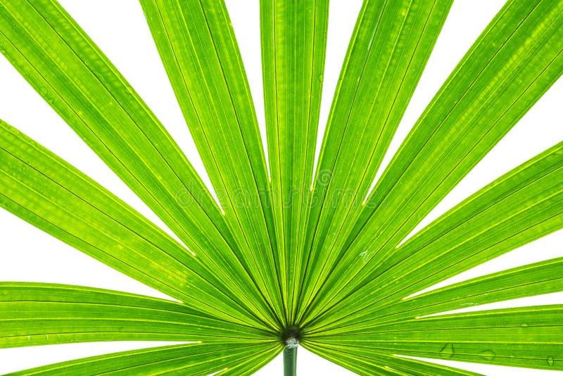 在白色背景隔绝的棕榈树绿色叶子特写镜头表面 库存图片图片