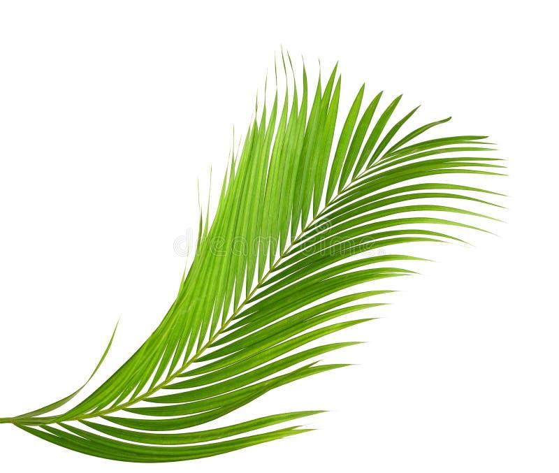 在白色背景隔绝的棕榈树绿色叶子 黑色,苏铁科的植物 库存图片