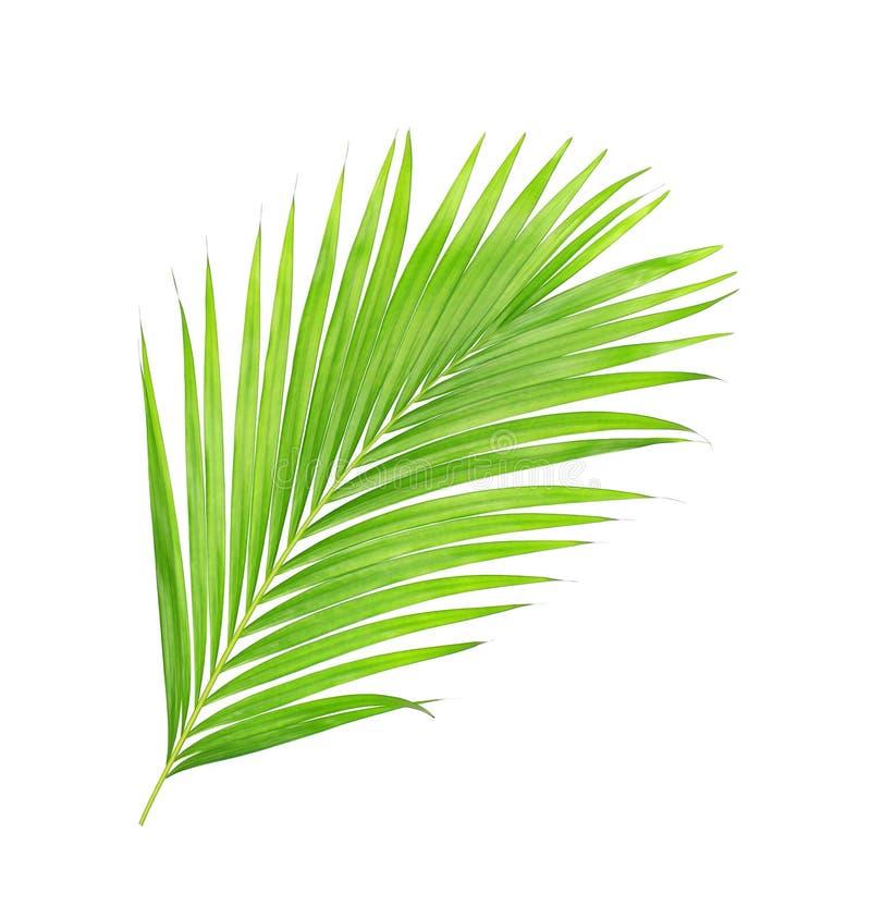 在白色背景隔绝的棕榈树绿色叶子图片