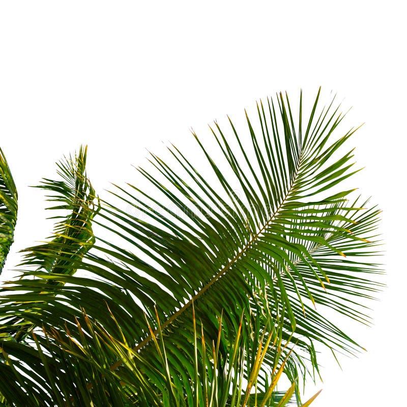 在白色背景隔绝的棕榈树绿色叶子 库存照片