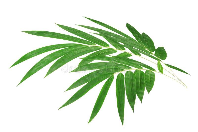 在白色背景隔绝的棕榈树绿色叶子 库存图片图片