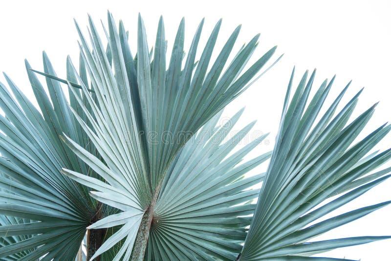 在白色背景隔绝的棕榈树绿色叶子 向量例证