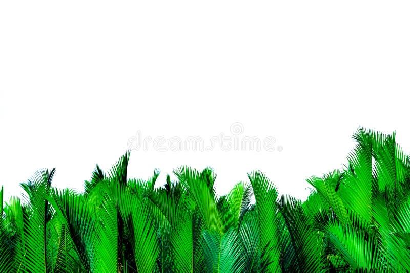 在白色背景隔绝的棕榈绿色叶子 Nypa fruticans Wurmb Nypa,Atap棕榈,日本棕榈树,美洲红树棕榈 绿色叶子fo 图库摄影