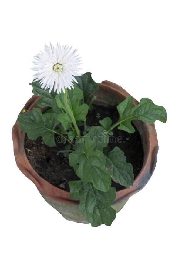 在白色背景隔绝的棕色罐的美丽的白色大丁草花 免版税库存图片