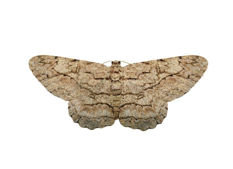 在白色背景隔绝的棕色飞蛾Nannoarctia tripartita的图象 ?? ?? 图库摄影