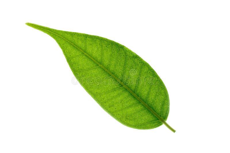 在白色背景隔绝的榕属Benjamina叶子 榕属叶子纹理  摘要宏观看法  库存图片