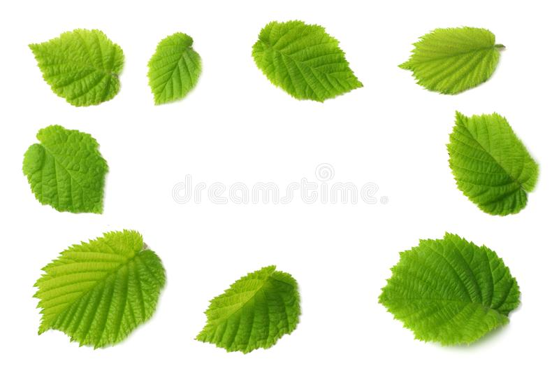 在白色背景隔绝的榛子叶子 顶视图 免版税图库摄影
