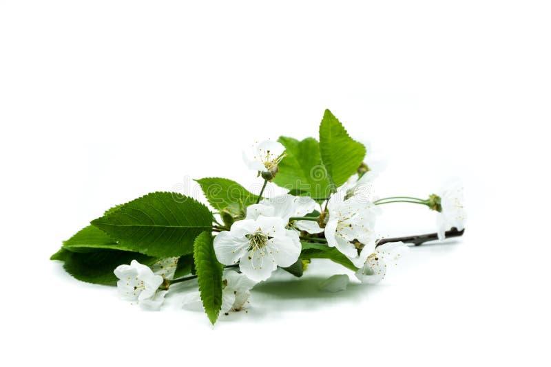 在白色背景隔绝的樱花 免版税库存图片