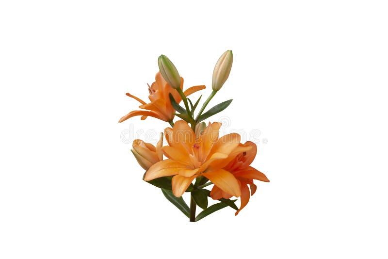 在白色背景隔绝的橙色印度金刚石百合花 库存照片