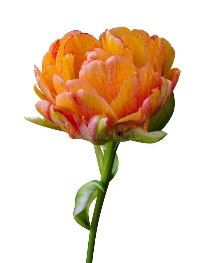 在白色背景隔绝的橙色花郁金香 免版税图库摄影
