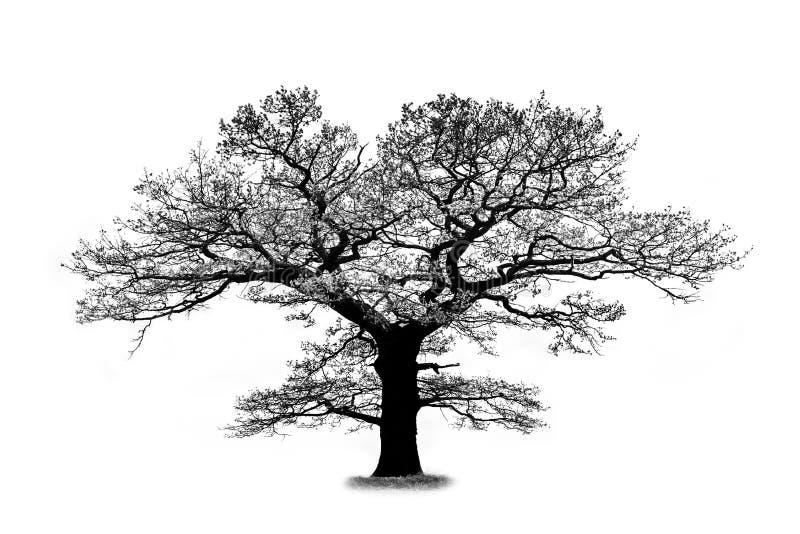 在白色背景隔绝的橡树剪影 免版税库存照片