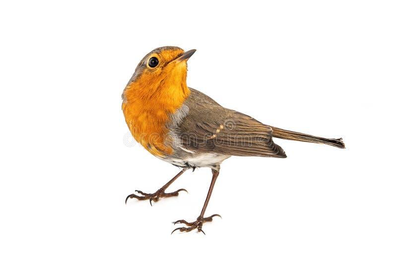 在白色背景隔绝的欧洲知更鸟画眉rubecula 图库摄影