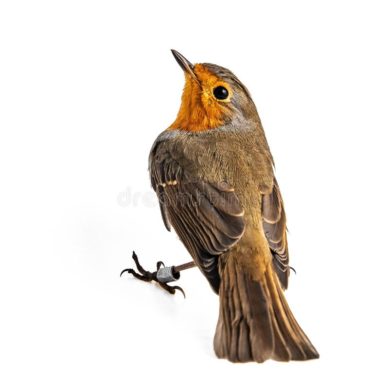 在白色背景隔绝的欧洲知更鸟画眉rubecula 免版税图库摄影