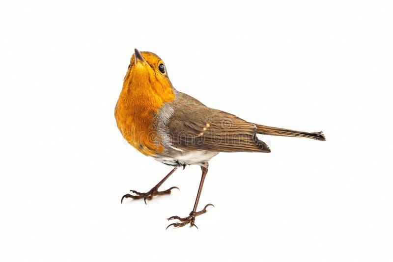 在白色背景隔绝的欧洲知更鸟画眉rubecula 库存图片