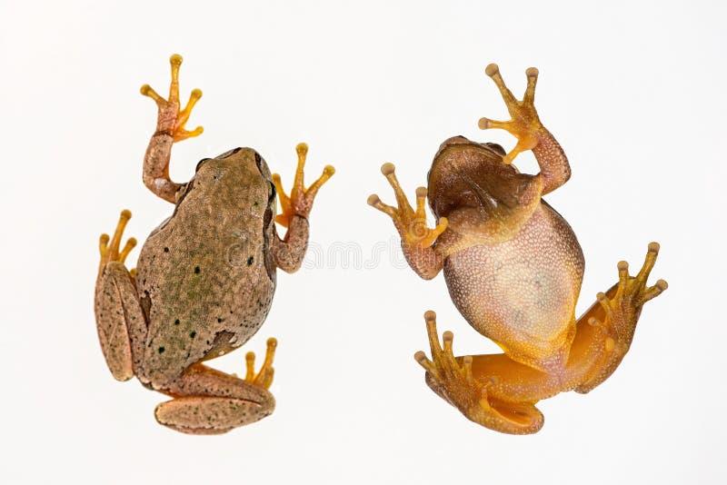 在白色背景隔绝的欧洲绿色雨蛙雨蛙arborea 顶视图 免版税库存图片
