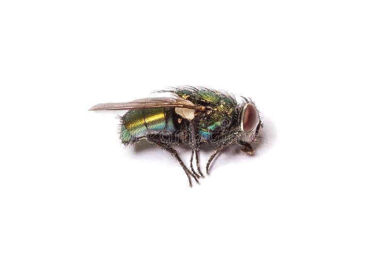 在白色背景隔绝的死的飞行 生物、含毒物和驱除剂概念 图库摄影