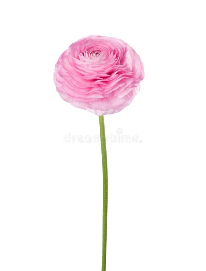 在白色背景隔绝的浅粉红色的毛茛属 免版税库存照片