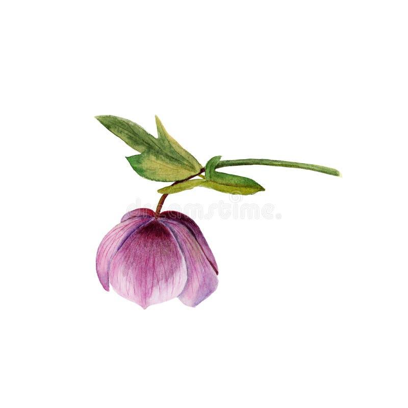 在白色背景隔绝的淡紫色黑黎芦的水彩植物的例证 库存图片