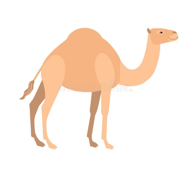 在白色背景隔绝的滑稽的逗人喜爱的独峰驼骆驼 野生聪明的亚洲食草蹄状哺乳动物,沙漠工作 向量例证