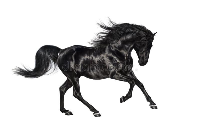 在白色背景隔绝的疾驰的黑安达卢西亚的公马 图库摄影