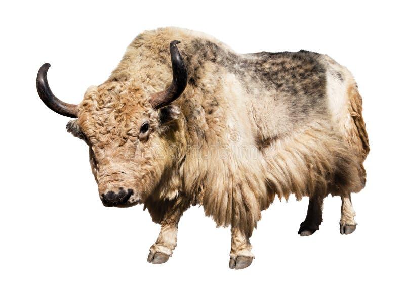 在白色背景隔绝的白色和棕色牦牛 库存照片