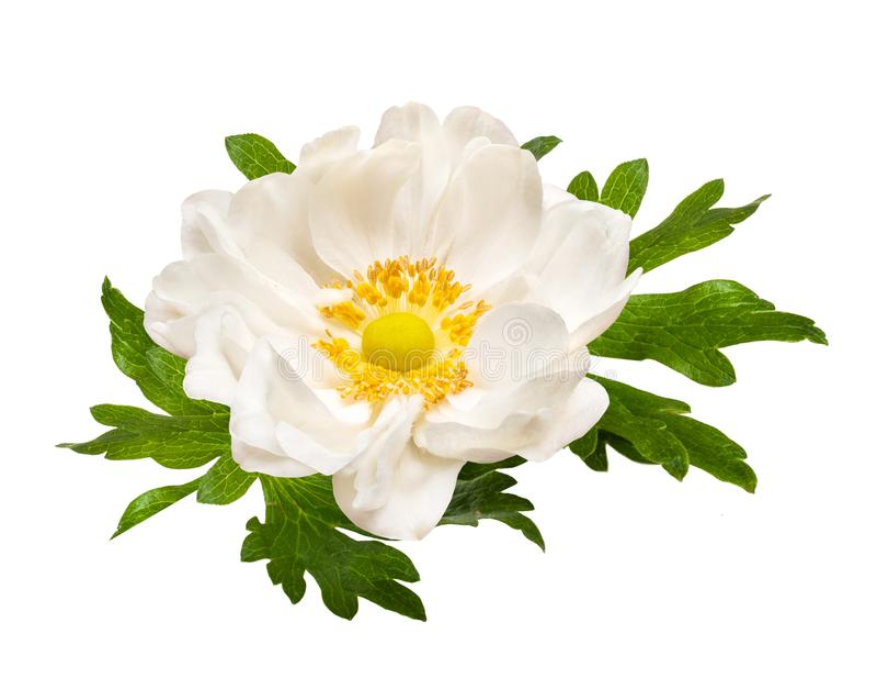 在白色背景隔绝的白色嫩银莲花属花 库存图片