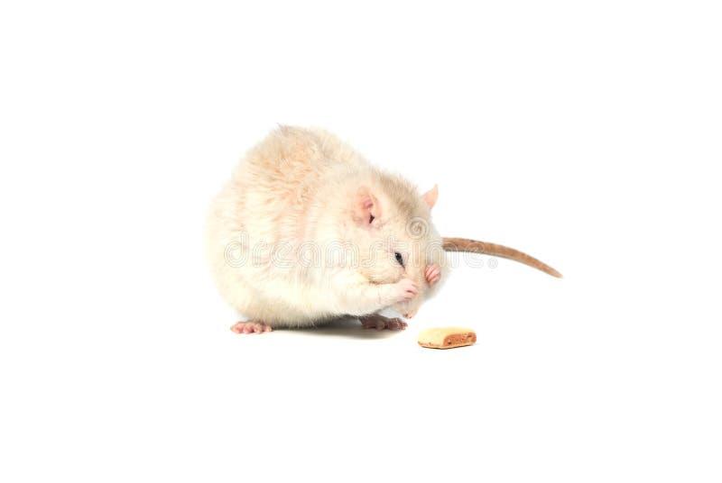 在白色背景隔绝的白色胡思乱想的鼠 库存照片