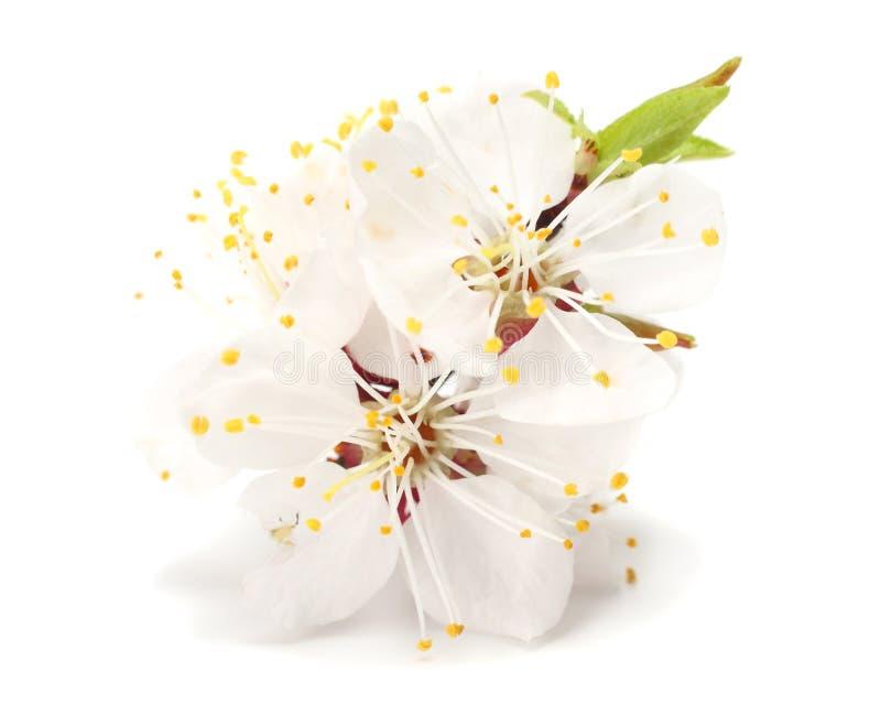 在白色背景隔绝的白花开花 黄色欧亚山茱萸花 免版税库存照片