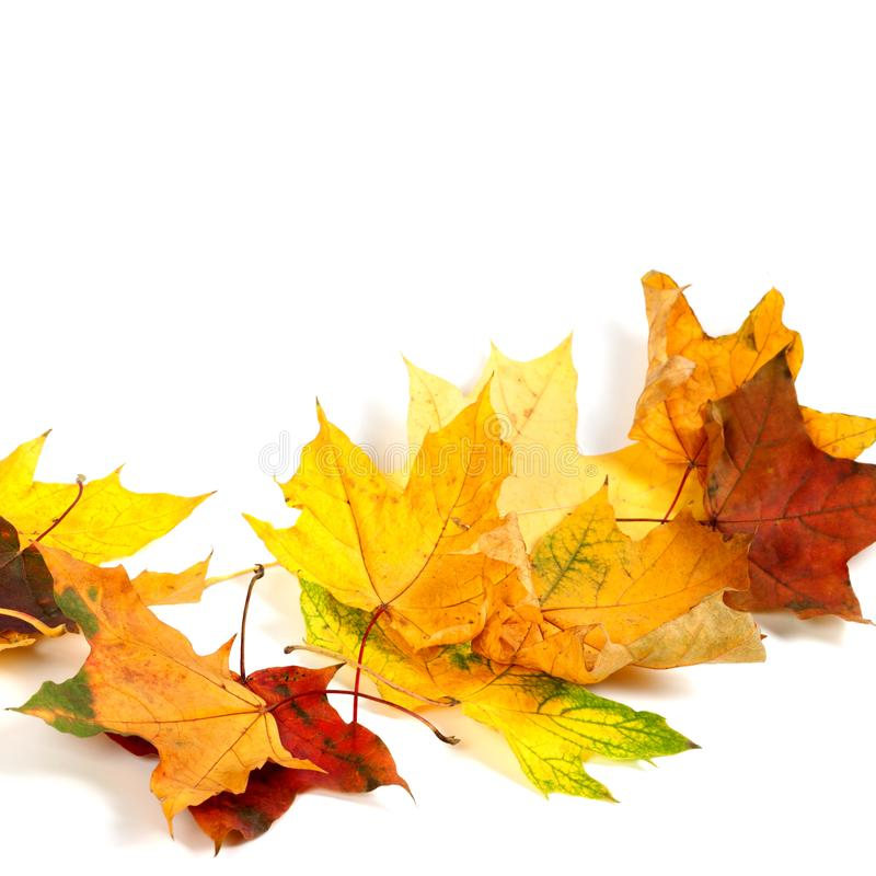 在白色背景隔绝的秋天干燥枫叶 库存照片