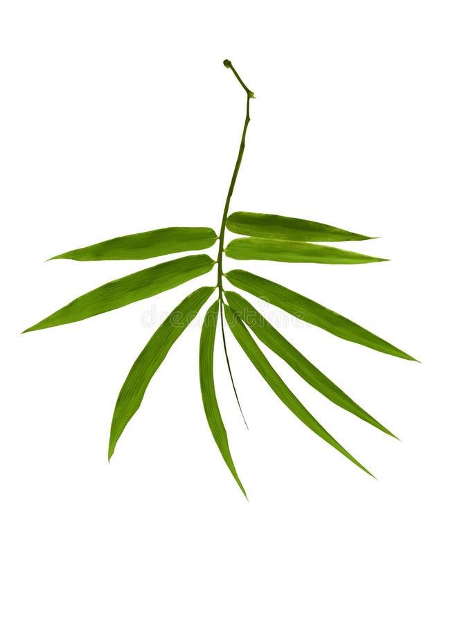 在白色背景隔绝的竹叶子 包括裁减路线日语 免版税图库摄影