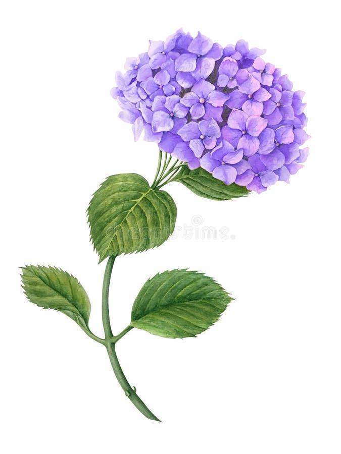 在白色背景隔绝的紫罗兰色八仙花属水彩例证 库存照片