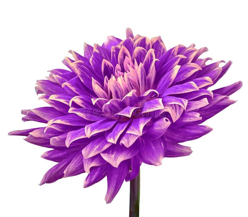 在白色背景隔绝的紫罗兰色茄子桃红色花大丽花 特写镜头 在词根的花 库存照片