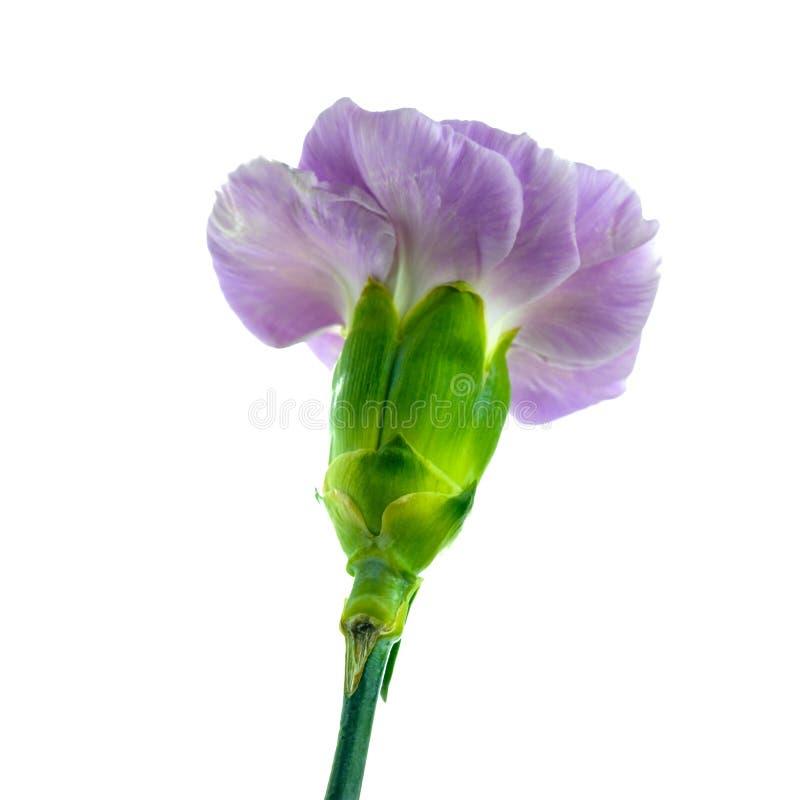在白色背景隔绝的紫色carrnation花 图库摄影