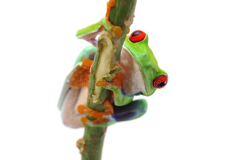 在白色背景隔绝的红眼睛的雨蛙 免版税库存照片
