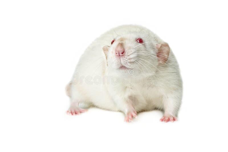 在白色背景隔绝的红眼睛的鼠 库存照片