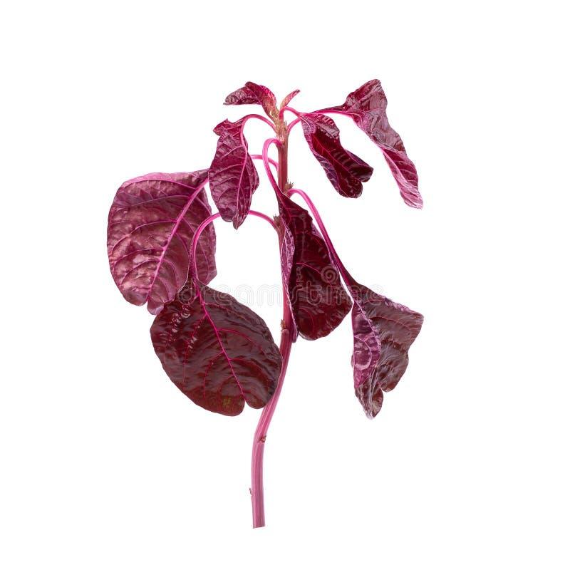 在白色背景隔绝的红色菠菜叶子 库存图片